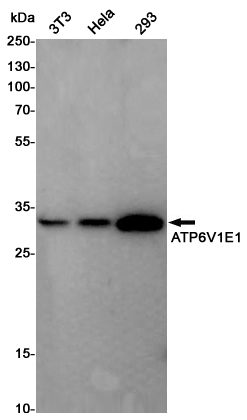 Western blot detection of ATP6V1E1 in 3T3,Hela,293 cell lysates using ATP6V1E1 Rabbit pAb(1:1000 diluted).Predicted band size:26KDa.Observed band size:26KDa.