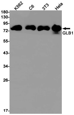 Western blot detection of GLB1 in K562,C6,3T3,Hela cell lysates using GLB1 Rabbit pAb(1:1000 diluted).Predicted band size:76kDa.Observed band size:80kDa.