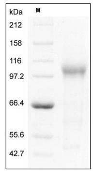 Mouse TGFBR3 / Betaglycan (His Tag) recombinant protein