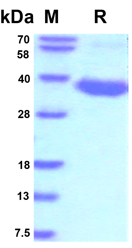 SARS-CoV-2 Spike RBD Recombinant Protein (untagged)
