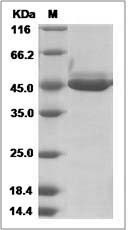 Mouse Chitinase-like 3 / Chi3l3 (His Tag) recombinant protein